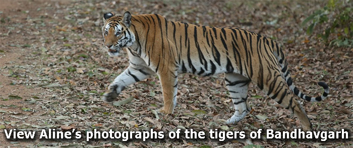 View Aline's photographs of the tigers of Bandhavgarh